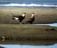Coppie dei falchi sulla spiaggia Fotografie Stock Libere da Diritti