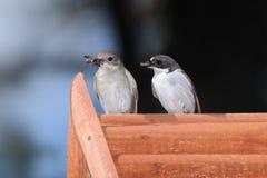 Coppie dei Flycatchers sulla casella del nestling Fotografie Stock Libere da Diritti