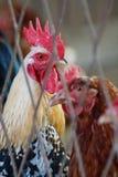 Coppie dei gallinacei nella prigionia fotografie stock libere da diritti