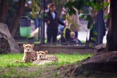 Coppie dei ghepardi Immagini Stock Libere da Diritti