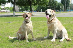 Coppie dei labradors Fotografia Stock