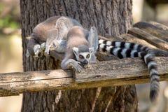 Coppie dei lemurs Fotografia Stock