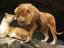 Coppie dei leoni Immagine Stock