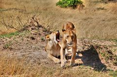 Coppie dei leoni in masai Mara National Park, Kenya Fotografia Stock Libera da Diritti