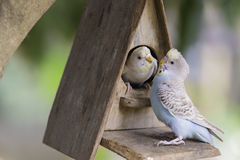 Coppie dei pappagalli Immagine Stock