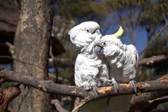Coppie dei pappagalli di cacatua bianchi Fotografie Stock
