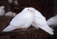 Coppie dei piccioni Fotografia Stock