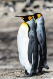 Coppie dei pinguini di re. Fotografie Stock