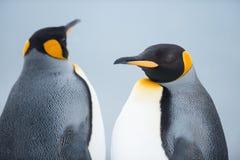 Coppie dei pinguini di re Fotografia Stock