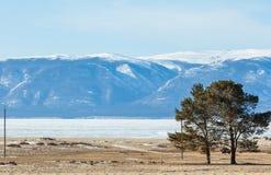 Coppie dei pini sulla spiaggia dell'isola di Olkhon, Baikal congelato Immagini Stock