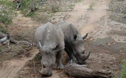 """Coppie del †""""Sudafrica di rinoceronti Immagini Stock Libere da Diritti"""