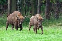 Coppie del bisonte Fotografia Stock Libera da Diritti