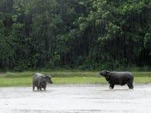 Coppie del bufalo d'acqua nella pioggia Immagine Stock