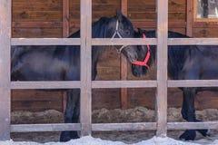 Coppie del cavallo nero Fotografie Stock