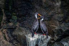 Coppie del cormorano di Lille nel parco nazionale del pinguino di Humboltd immagini stock libere da diritti
