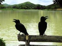 Coppie del corvo Fotografia Stock