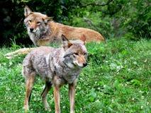 Coppie del coyote vicino al legno immagini stock