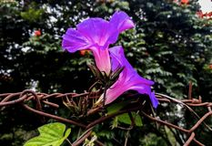 Coppie del fiore viola immagini stock