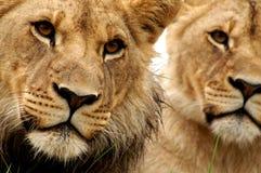 Coppie del leone Fotografia Stock Libera da Diritti