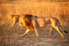 Coppie del leone Fotografie Stock Libere da Diritti