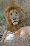 Coppie del leone Fotografia Stock