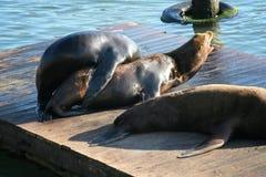 coppie del leone marino facendo sesso o crescendo fotografia stock