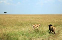 Coppie del leone sulla savanna Fotografie Stock