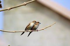 Coppie del passero Fotografia Stock