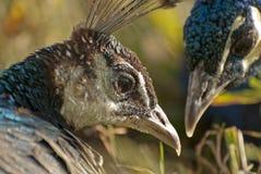 Coppie del pavone Fotografia Stock