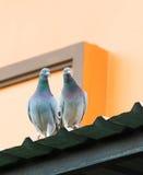 Coppie del piccione viaggiatore che stanno sul tetto domestico Fotografie Stock