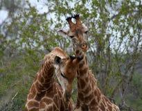 Coppie del ` s delle giraffe che giocano insieme Fotografia Stock