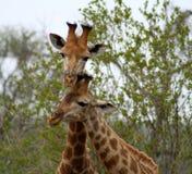 Coppie del ` s delle giraffe chiuse insieme Immagini Stock