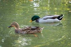 Coppie dell'anatra e del maschio nel lago Immagini Stock