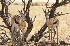 Coppie dell'antilope saltante Immagine Stock