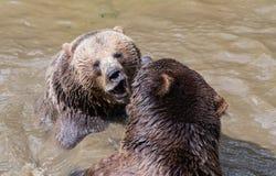 Coppie dell'orso bruno che stringono a sé in acqua Un gioco di due orsi bruni nell'acqua Immagini Stock