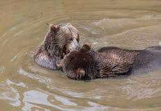 Coppie dell'orso bruno che stringono a sé in acqua Un gioco di due orsi bruni nell'acqua Immagine Stock