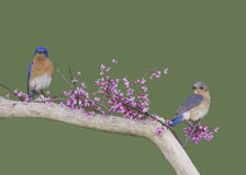 Coppie dell'uccellino azzurro Fotografia Stock Libera da Diritti