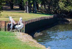 Coppie dell'uccello acquatico australiano del pellicano che resta vicino ad un fiume a Sydney, Australia immagini stock
