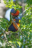 Coppie dell'uccello di Lorikeet dell'arcobaleno Fotografie Stock