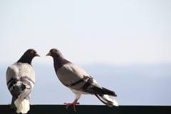 Coppie della colomba Immagini Stock