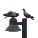 Coppie della colomba Immagine Stock Libera da Diritti