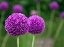 Coppie della crescita di fiori porpora dell'allium nel giardino Immagini Stock Libere da Diritti