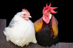 Coppie della gallina e del gallo Fotografia Stock