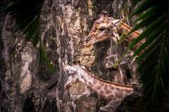 Coppie della giraffa Fotografie Stock Libere da Diritti