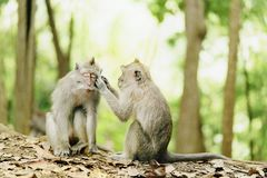 Coppie della scimmia Immagini Stock