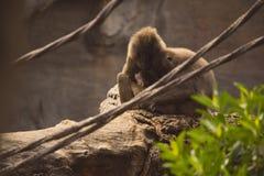 Coppie della scimmia del trapano con l'infante fotografie stock libere da diritti