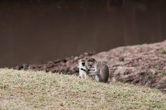 Coppie della scimmia di Vervet Fotografie Stock