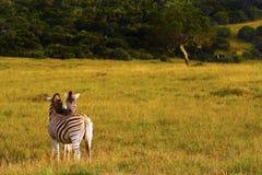 Coppie della zebra Fotografia Stock Libera da Diritti