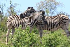 Coppie della zebra Immagini Stock