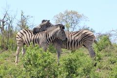 Coppie della zebra Fotografia Stock